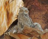 Great Horned Owls, nestlings