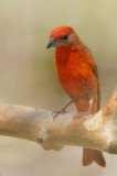 Hepatic Tanager, male