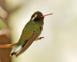 White-eared Hummingbird, male
