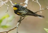 Yellow-rumped Warbler, Audubon's male