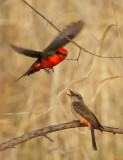 Vermilion Flycatchers, courting pair