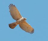 Gray Hawk, juvenile