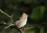 Rufous-winged Sparrow, singing male