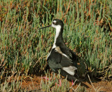 Black-necked Stilts, male carrying chick