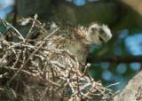 Cooper's Hawk, nestling