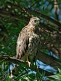 Cooper's Hawk, fledgling
