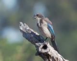 California Scrub Jay, juvenile