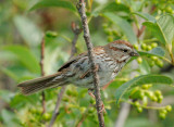 Song Sparrow, carrying food to nest