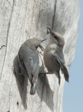 Pygmy Nuthatches, male feeds female, June 2010