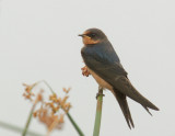 Barn Swallow, juvenile