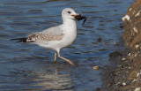 Ring-billed Gull, first winter, with mussel