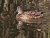 Gadwall, female