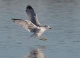 Ring-billed Gull, adult winter, landing