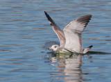 Ring-billed Gull, first winter, landing