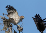 Cooper's Hawk, juvenile attacked by crow