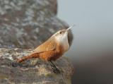 Canyon Wren, male