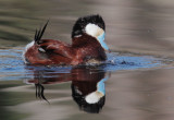 Ruddy Duck, male performing bubbling display