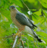 Cooper's Hawk, male, first basic*