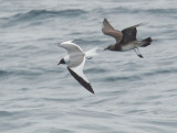 Long-tailed Jaeger, juvenile, following Sabine's Gull