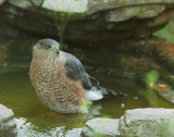 Cooper's Hawk, male first basic
