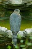 Cooper's Hawk, molting, June-Sept 2012