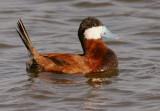 Ruddy Duck, male