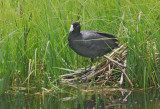 American Coot, at nest