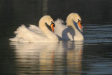 Mute Swans, males