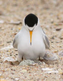 Least Tern, with eggs