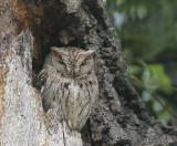 Birds -- Western Screech-Owl, June 2006