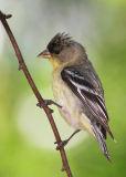 Lesser Goldfinch, first summer male