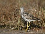Greater Yellowlegs, molting