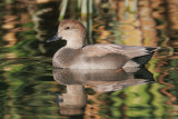Gadwall, male