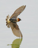 Cliff Swallow, flying