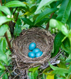 20090528 - Robins eggs in the orchard.jpg