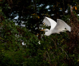 Great Egret On Wing