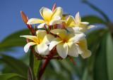 Plumeria - A Tropical Delight