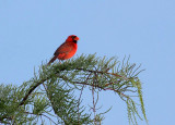 Northern Cardinal - On Top of the World