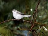 Blue Grey Gnat Catcher