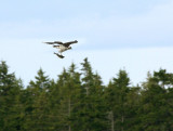 Osprey with Meal In Tow