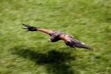 Raptor in Flight