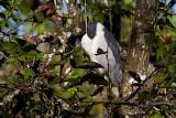 Black Crowned Night Heron - snoozing, sort of...