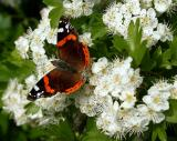 Red Admiral - Resting