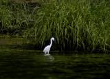 snowy egret 055