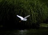snowy egret 064
