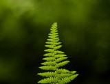 soft as a fern 066