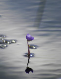 the beauty of bladderwort 058