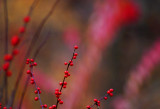 November red 452