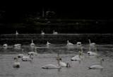 swan lake 042