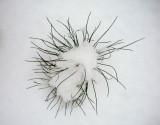 white pine 488